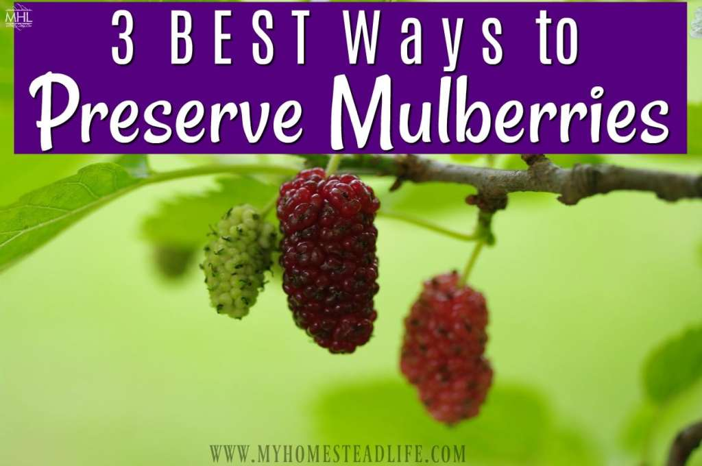 preserving-mulberries-mulberry