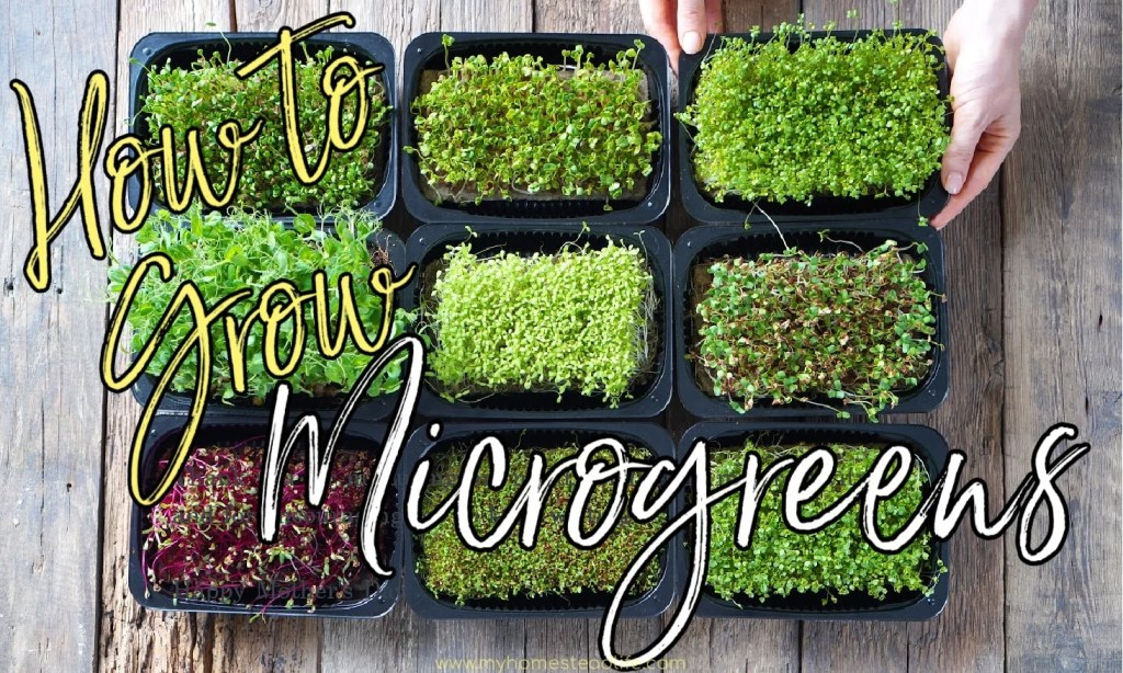 how-to-grow-microgreens-for-beginners