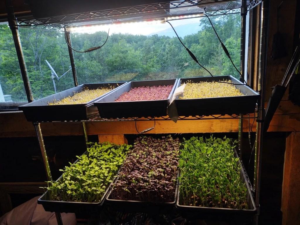 growing-microgreens-for-beginners-growing-rack