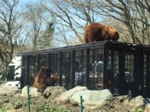 富士サファリパークのスーパージャングルバスに群がる熊
