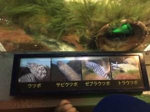 のとじま水族館のうつぼの種類