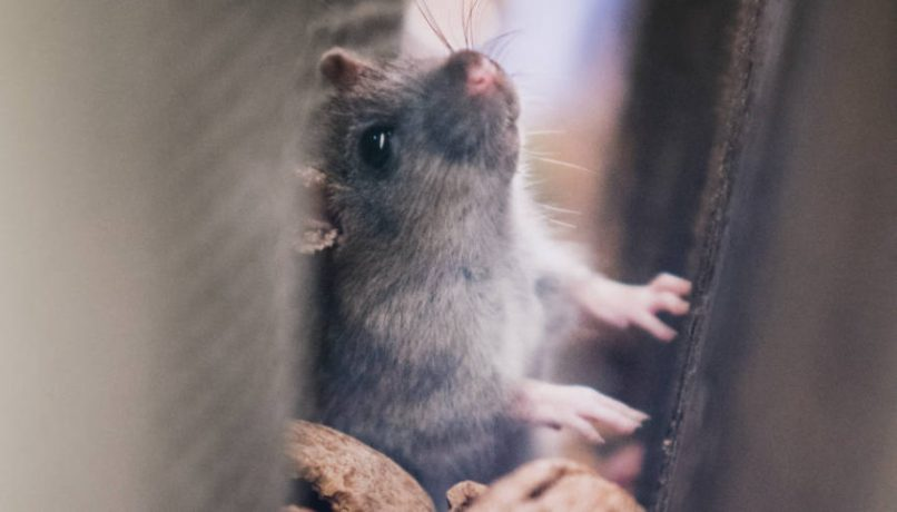 how to get rid of rats in walls and ceiling