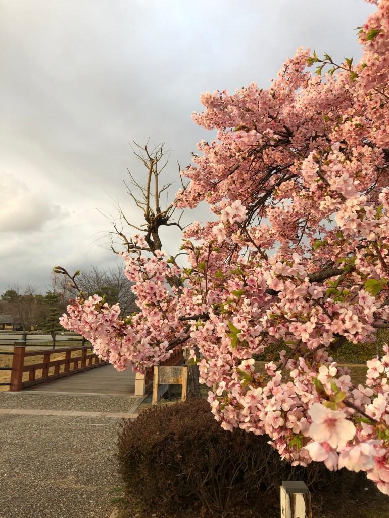 静岡公園での河津桜 Kawazu sakura at sunpu jo koen, Shizuoka city