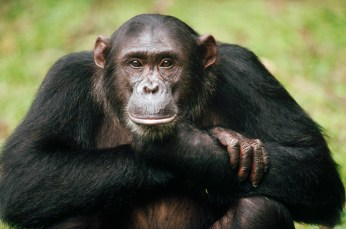 Not yet published Picture File: MI001 1232379 Submitter: GERRY ELLIS/ MINDEN PICTURES Copyright: 50M (MINDEN IMAGES REPRESENTED BY NATIONAL GEOGRAPHIC CREATIVE HAVE SPECIFIC RESTRICTIONS. CONTACT NG CREATIVE STAFF AT X7537 FOR MORE INFORMATION) Location: Not Released/ Not Applicable, Tanzania Legend: Chimpanzee (Pan troglodytes) portrait, adult named Frodo, Gombe Stream National Park, Tanzania Keywords: Africa, Animal, Ape, Chimpanzee, Close Up, Color Image, Day, Eas