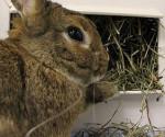 Kaninchen, Heu zu essen
