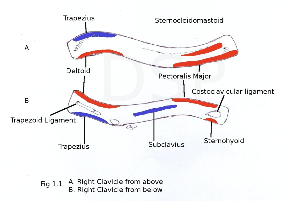 Image result for muscle attachments on clavicle