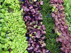 Microgreens ready to harvest