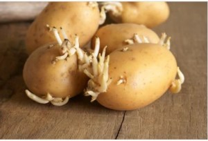 Potatoes with Sprouts
