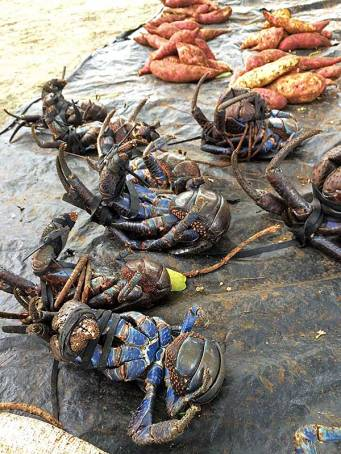 Coconut crabs for sale at the local market, Seghe