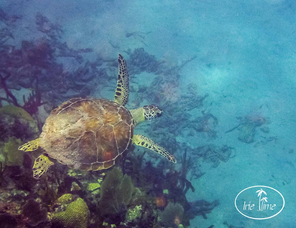 turtle-1