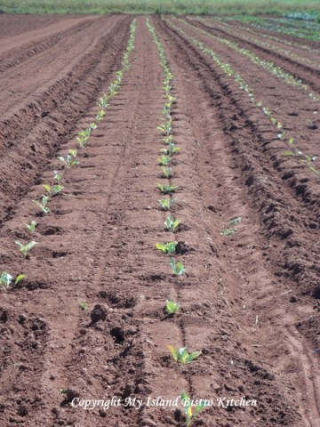 New Transplants Mid-Summer at Campbell's Organic Farm
