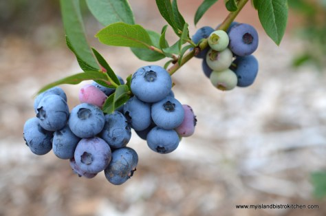 High-bush PEI Blueberries from the Tryon Blueberry U-Pick