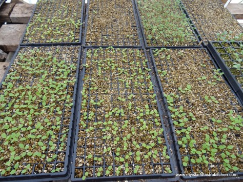 New Lettuce Plants