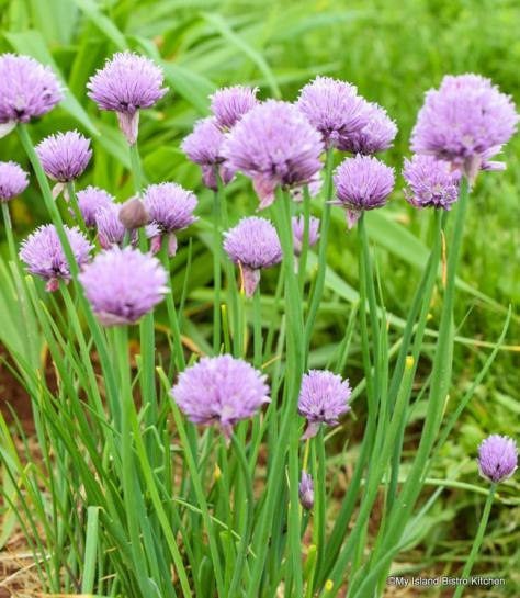Patch of Chives
