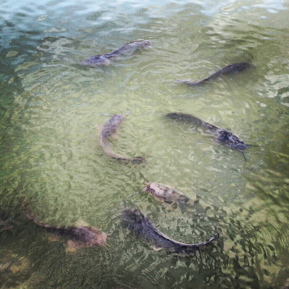 Catfish in the Hula Valley Reserve