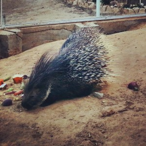 Porcupine in Bio Ramon