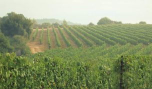vineyards in Israel wine regions, My Israel Wine Tours