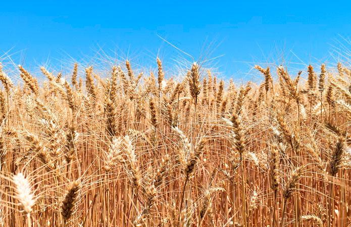 Украина — вторая после ЕС по урожайности пшеницы