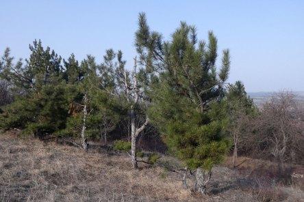 Крымская сосна