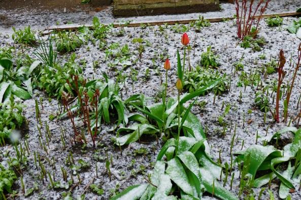 Пионы и тюльпаны в снегу