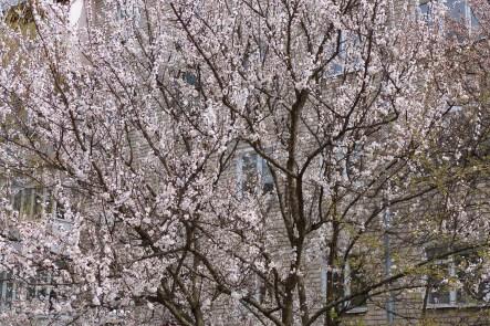 Абрикоса в цвету