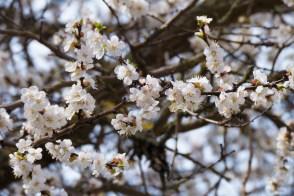 24 апреля 2018 года, в Изюме цветет абрикос