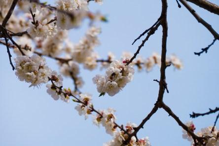 Пчела на цветке абрикосы