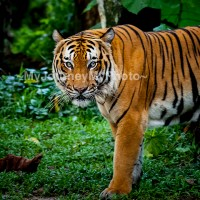 The Malayan tiger (Panthera tigris jacksoni)