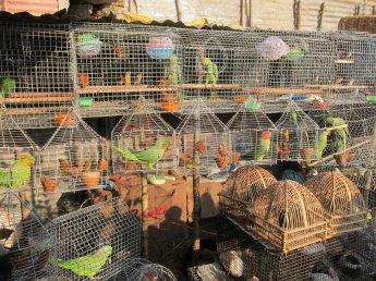 Bird Market At Sonepur Mela Patna