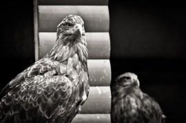 2012-07-22 - Priamursky Zoosad - Águilas Vigilantes