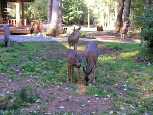 15 Island Deer