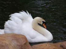 Swan_White