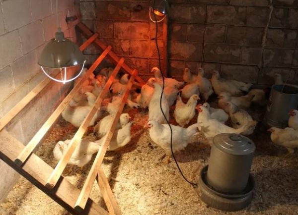 Csirkefarm
