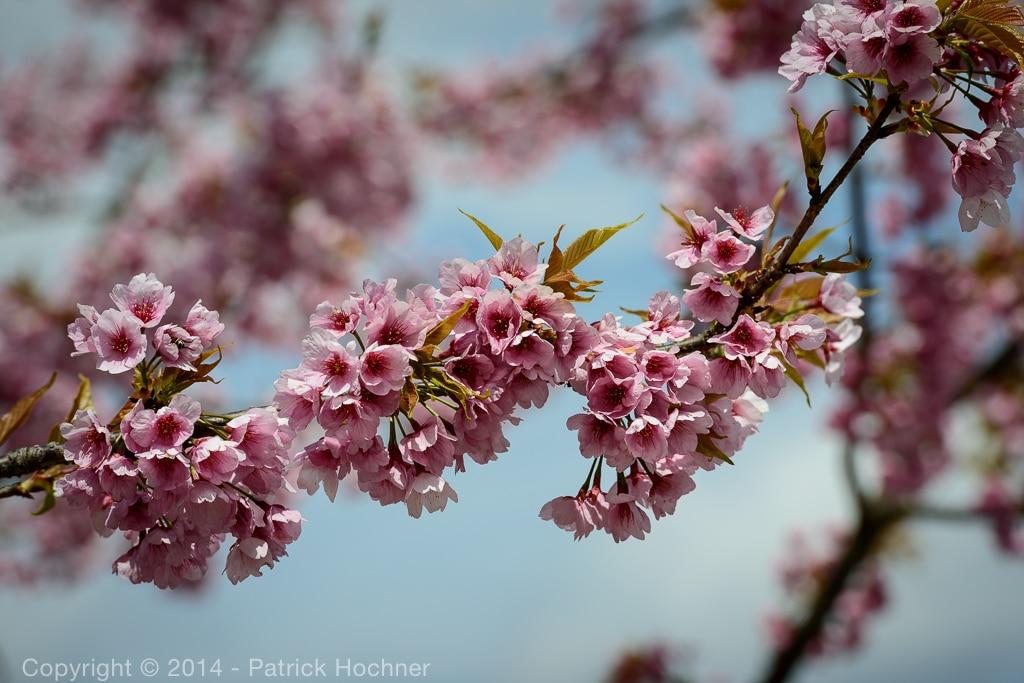 Hanami - Cherry blossom, Hirano Jinja