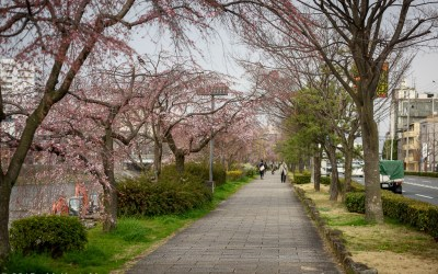 The beginning of the Cherry Blossom season