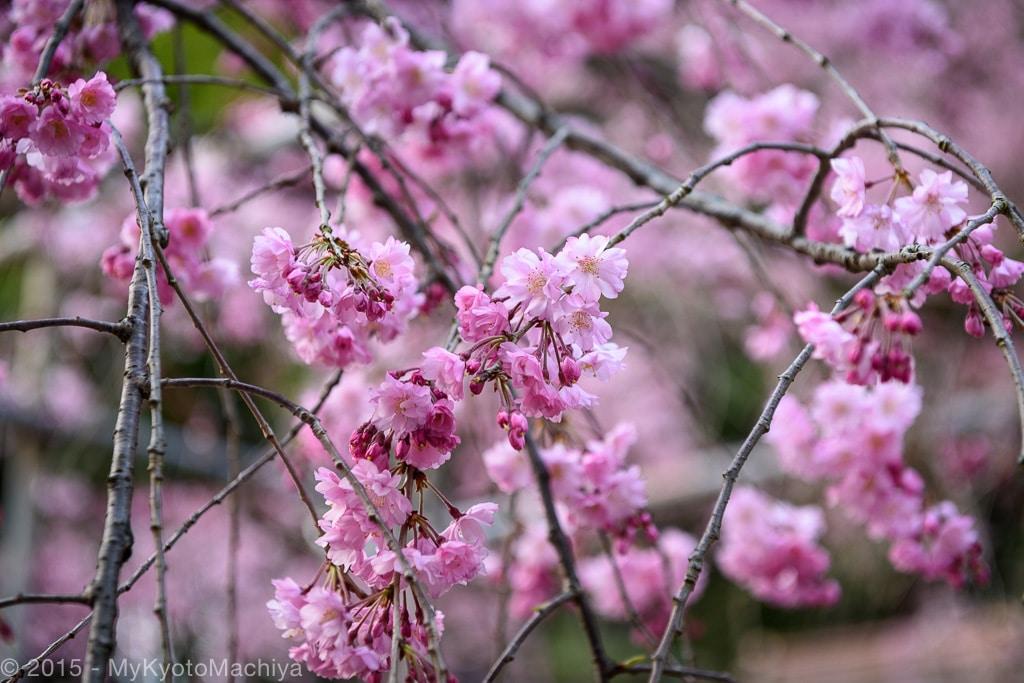 150402_Kyoto-Hirano-Jinja-Hanami-813456