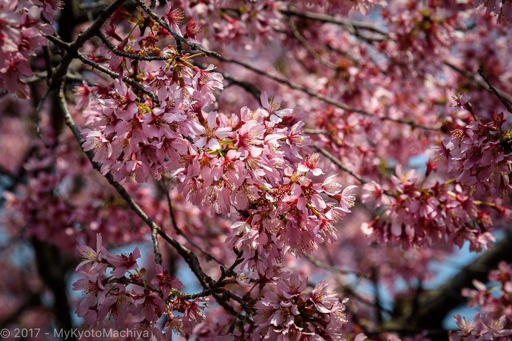 170329_Kyoto-Chotokuji-Cherry_Blossom-500702