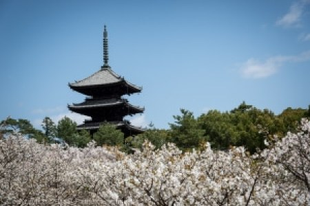 The Omuro cherries in full bloom, Ninnaji Temple in April
