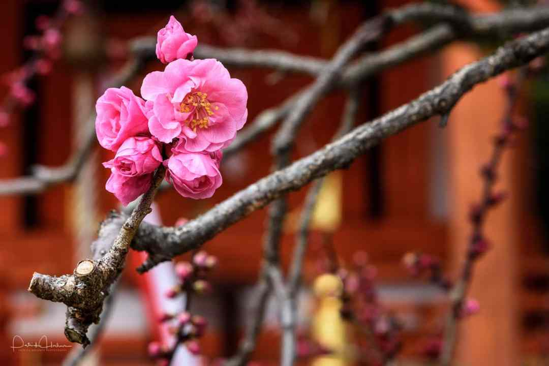Ume (plum) blossom at the Kitano Tenmangu Shrine, Kyoto