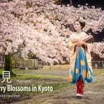 Hanami – Cherry Blossoms in Kyoto