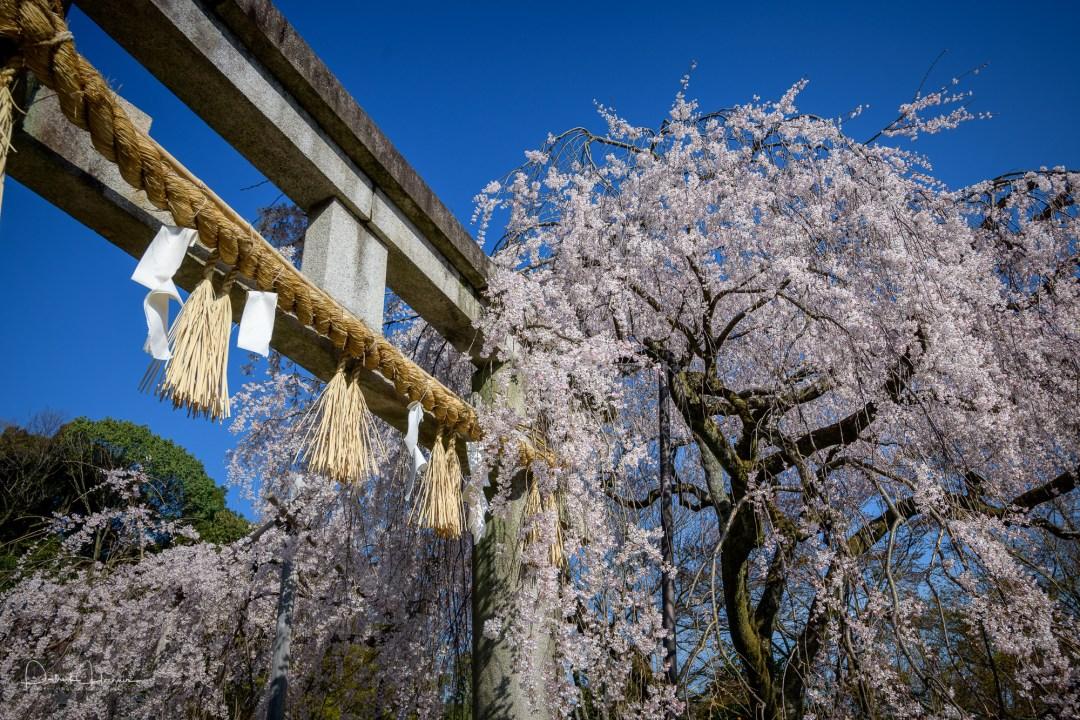 Cherry Blossoms around Oishi Jinja Shrine, Yamashina, Kyoto