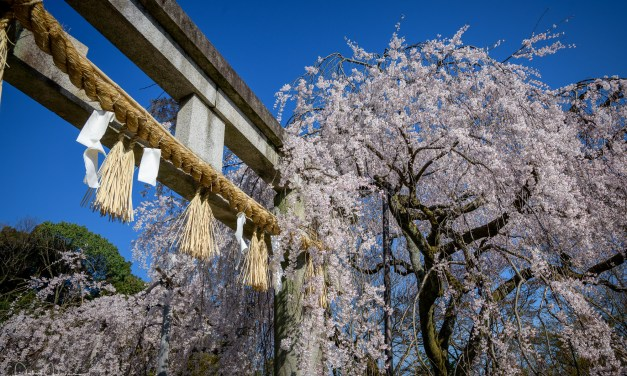 Hanami – Cherry Blossoms Viewing in Japan