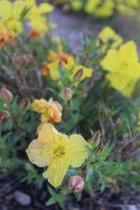 Calylophus drummondianus primrose