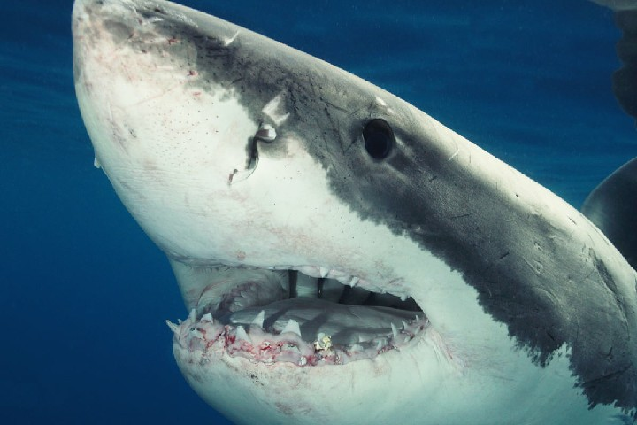 Atlantic White Sharks