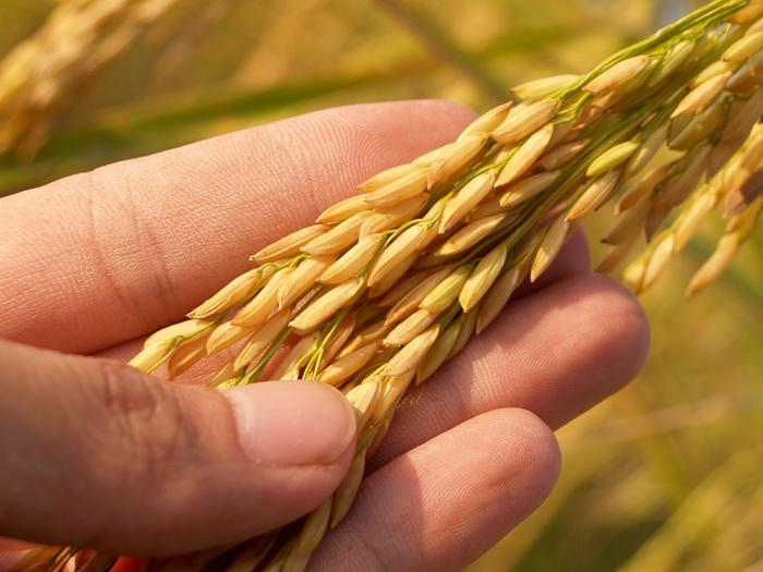 쌀에 발암 살충제가? 한국인의 위험한 먹거리!