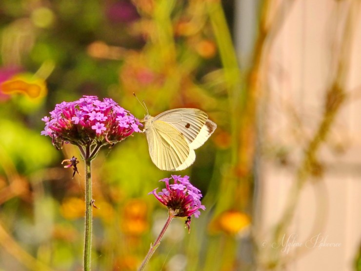 Cabbage white butterfly on a verbena