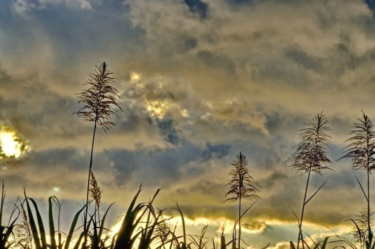 Sugar cane flowers in a golden sky
