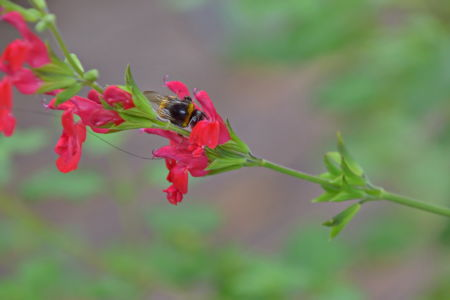 Humblebee on red sage