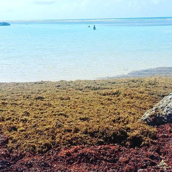 Grande Caraibe : ô rage, ô désespoir, ô sargasses ennemies !