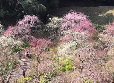 No.4242 龍尾神社のしだれ梅を見に行く!!・・・
